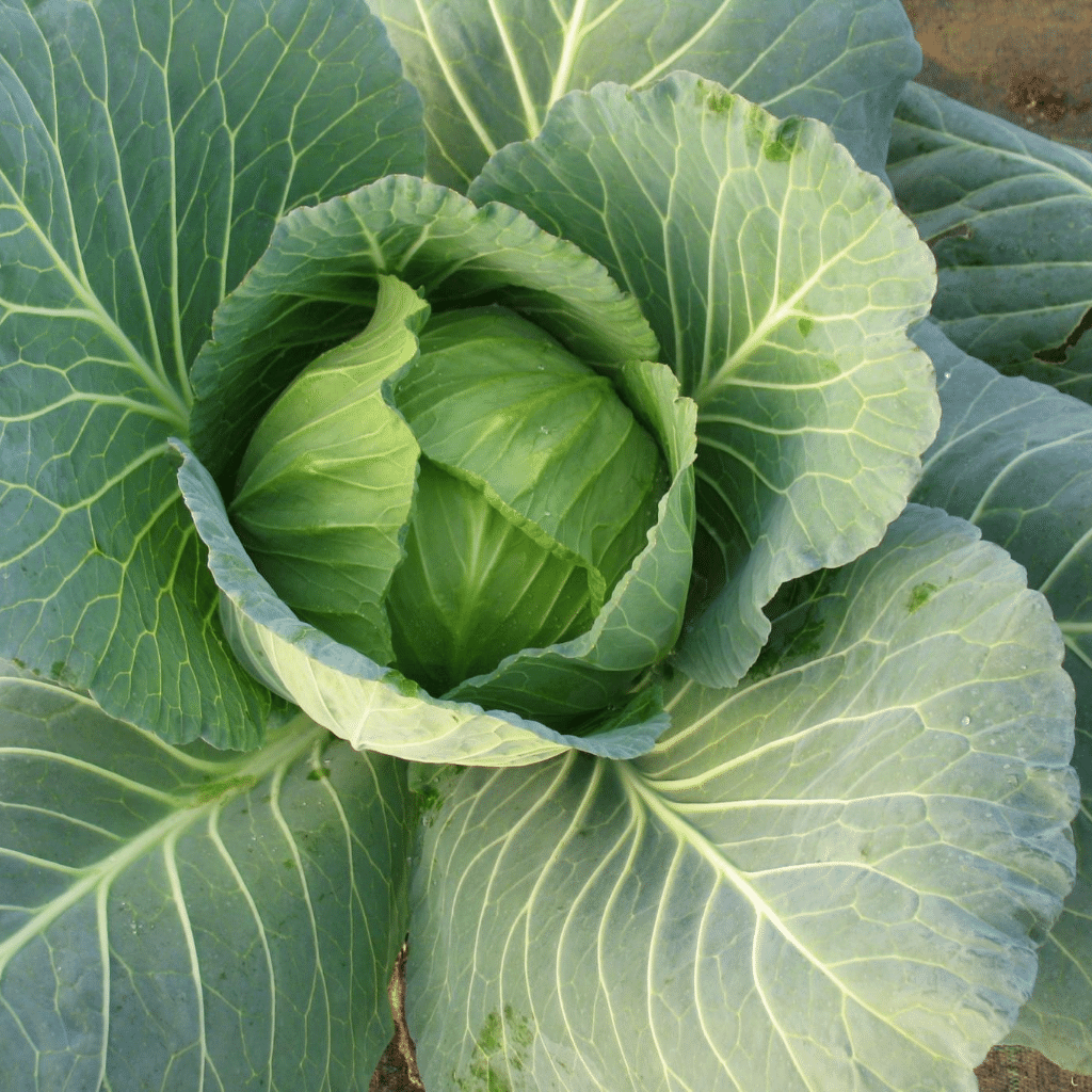Cabbage Pride of India Seeds