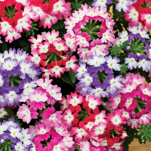 Verbena Mixed Flower Seeds