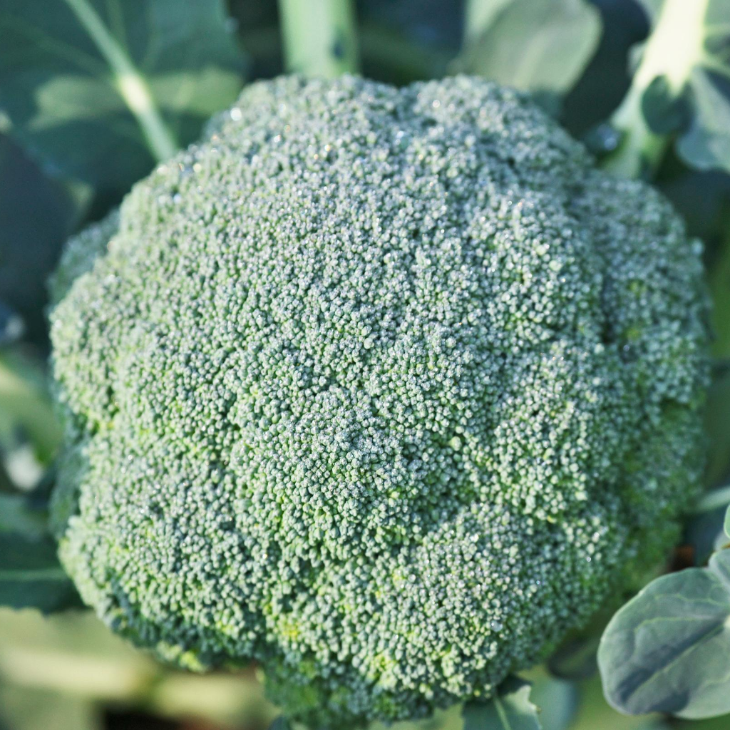 Buy brocolli seeds online