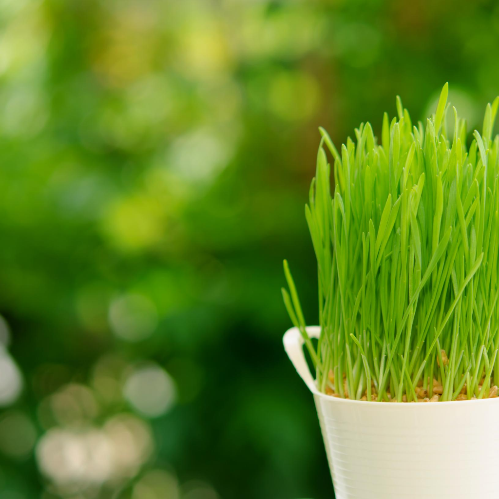 Wheatgrass Microgreens Seeds