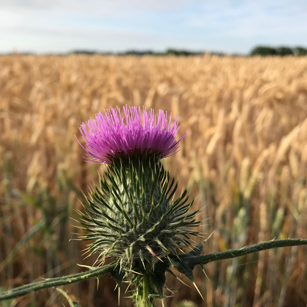 Pink thistle with field of corn behind the jewellery making studio