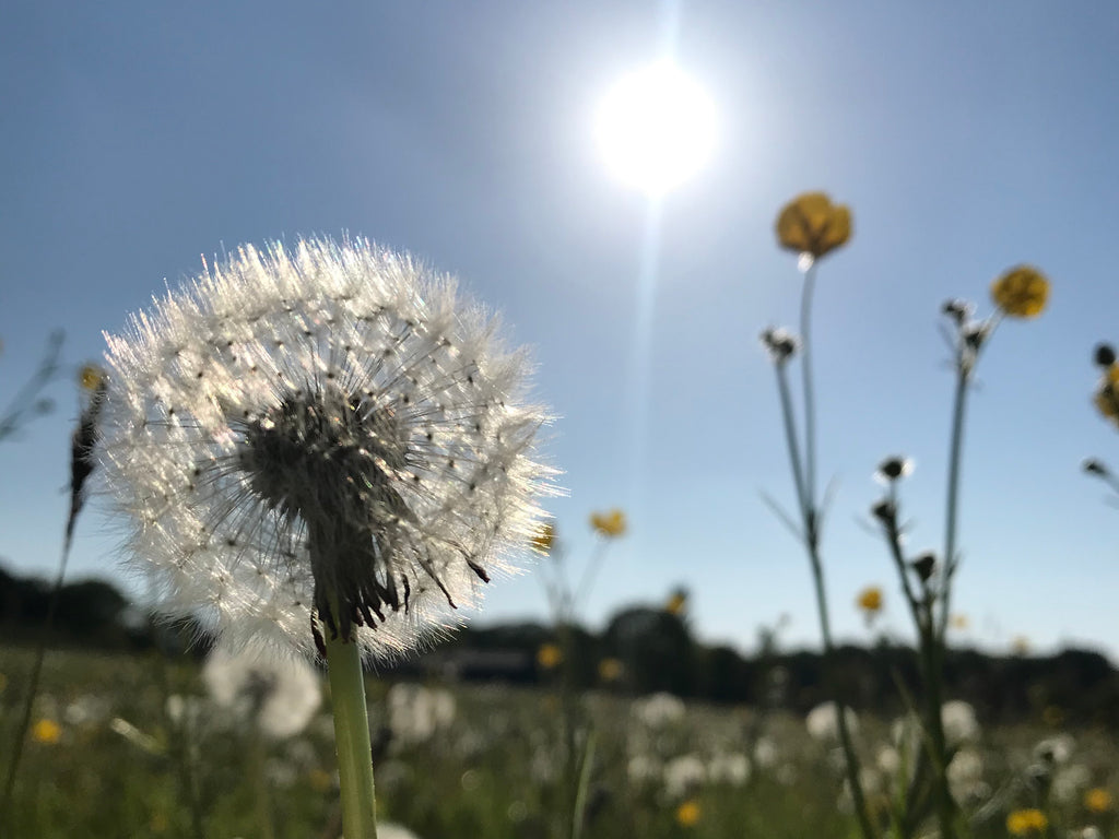 View of dandelion seed head over a Herefordshire field