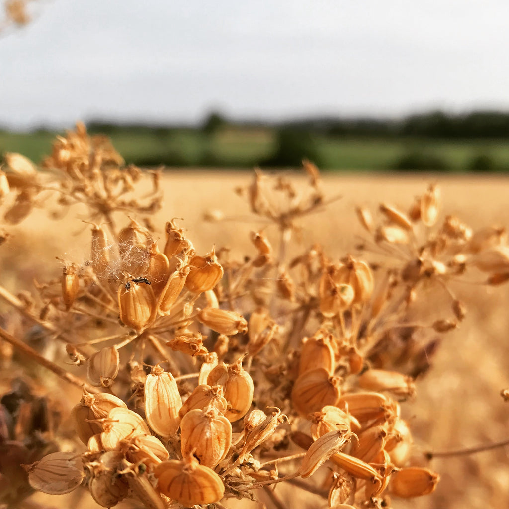Golden yellow seed heads in the field behind the jewellery making studio