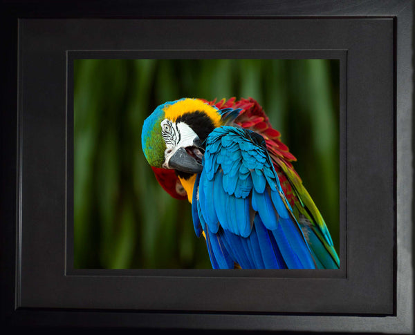 Blue, Red and Yellow macaw