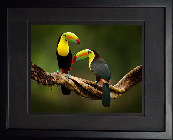 Two Keel-billed Toucan