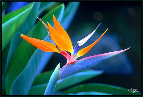 Bird Of Paradise Photograph