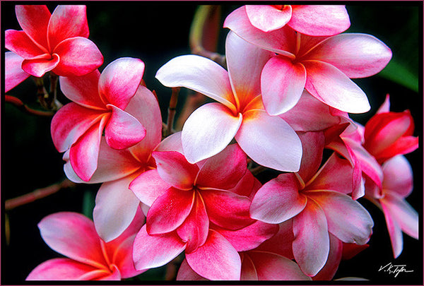 Pink Plumeria Flower, Kauai Hawaii