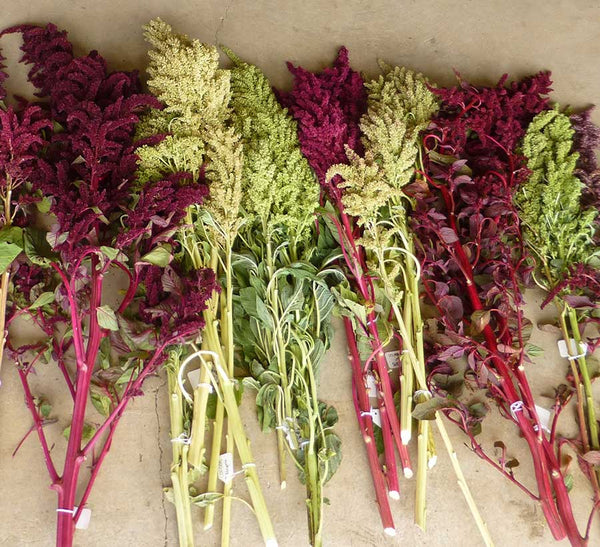 bunches of amaranth