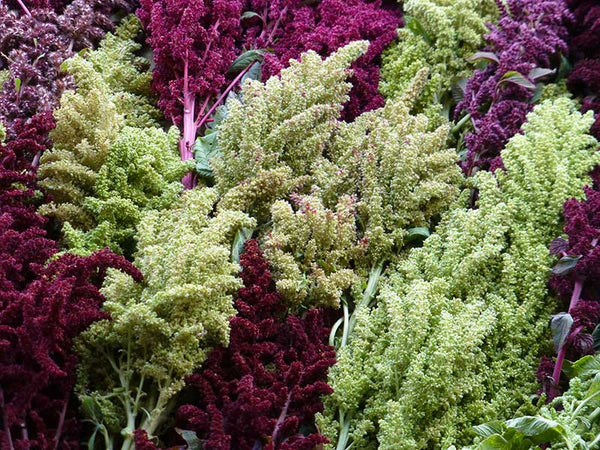 amaranth red and green