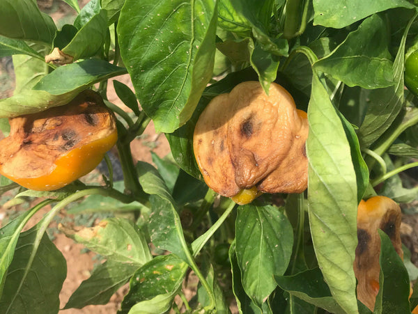 peppers burned by sun can be prevented with use of shade cloth