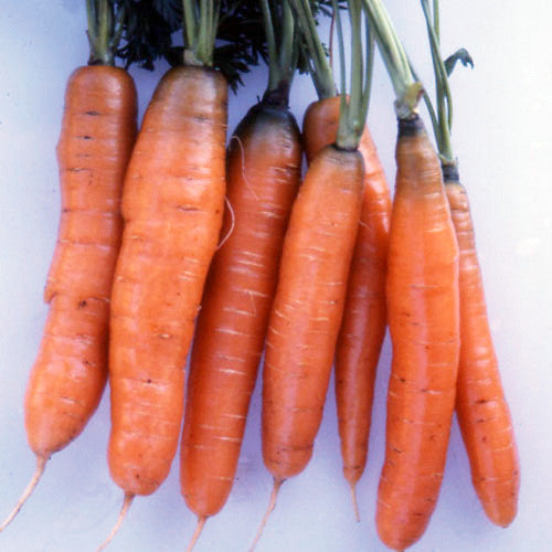 scarlet nantes carrots heirloom
