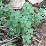 True Greek Oregano