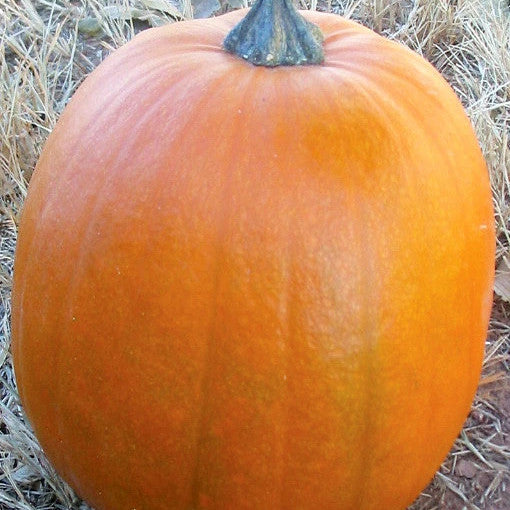 Big Max Pumpkin