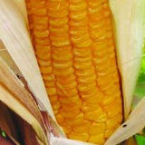 golden yellow corn sweet