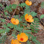 Arizona Summer Poppy-Caltrops