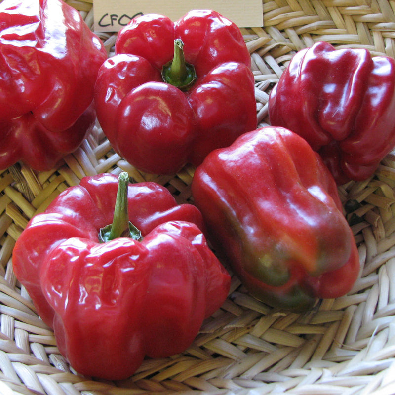 sweet bell pepper chile dulce