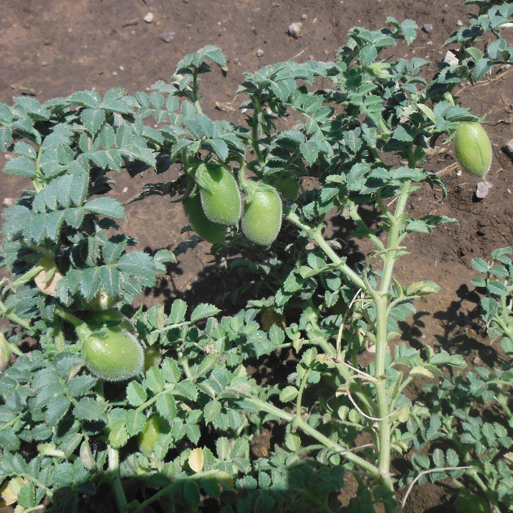 garbanzo bean seeds for arid climates