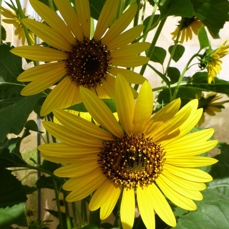 hopi branched sunflower