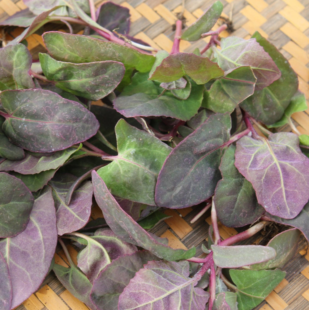 Purple Orach