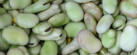 broad windsor fava bean seeds