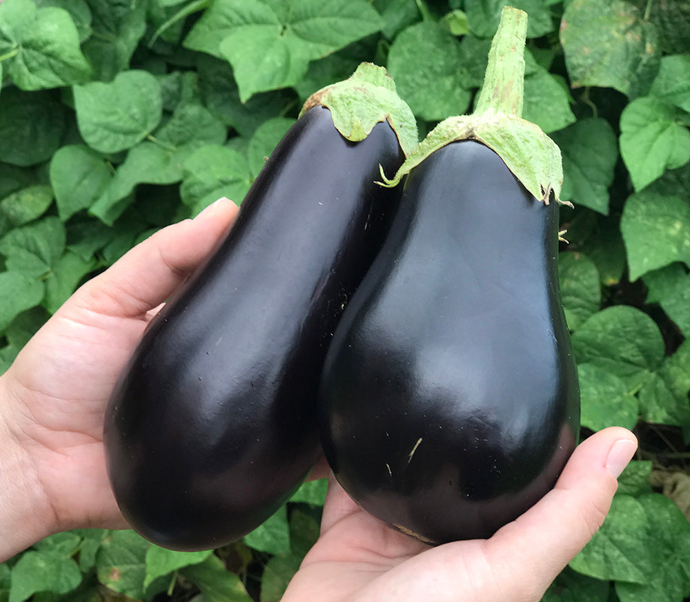 Black beauty eggplant. It is one of the world's most common eggplant because of its large size, approximately six inches