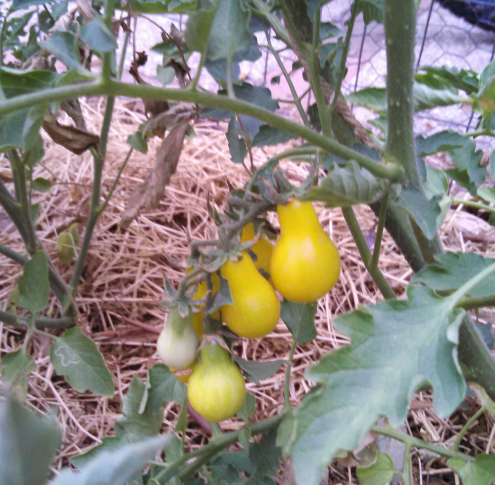 "Picture of 2 (TWO) Live Tomato Yellow Pear Plant Fit 4"" Pot"