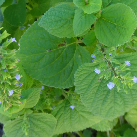 Seeds > Herbs | Native-Seeds-Search