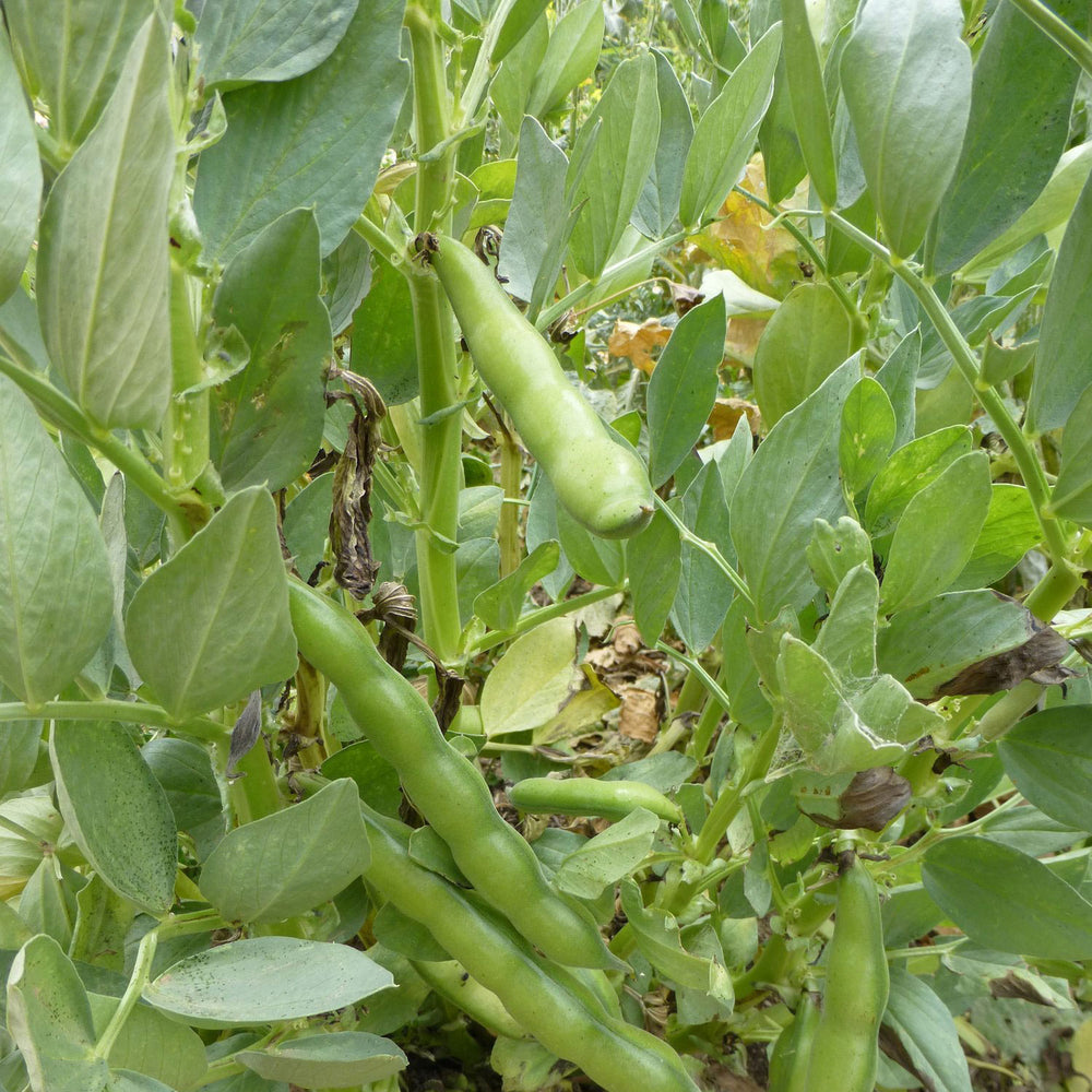 broad windsor fava bean plant