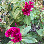 Mano de Gato, or Cat's Paw is a type of Amaranth with bright fuchsia, wavy shaped flowers.
