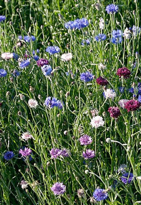 Seeds Gt Wildflowers Native Seeds Search