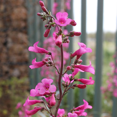 Parry's Penstemon