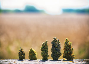 Hemp Buds: How to Use This CBD-Rich Species of Cannabis