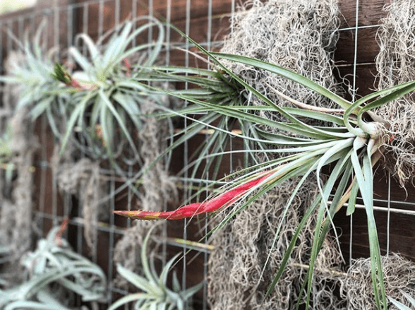 Tillandsia air plants growing on display