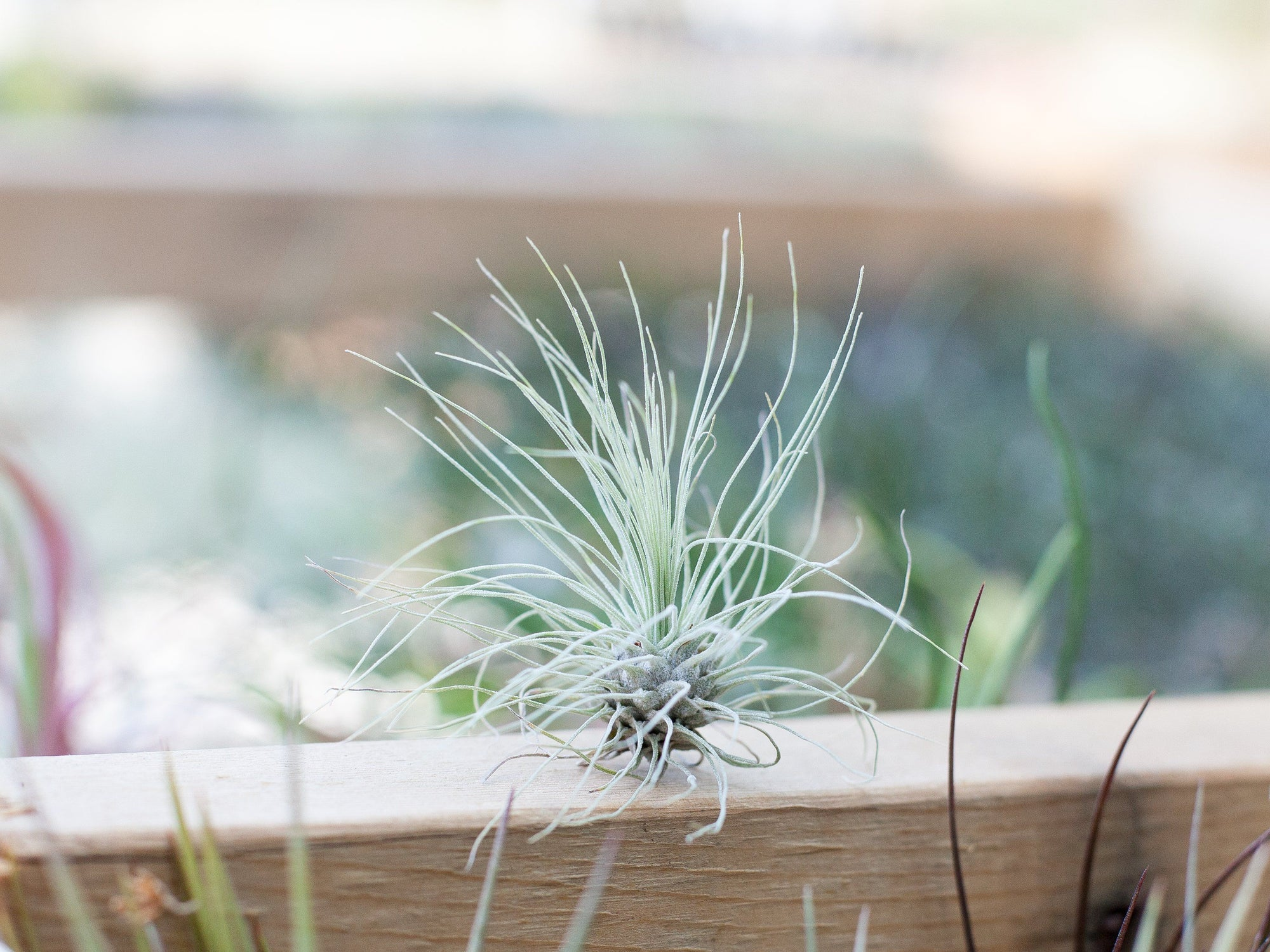 Watering Your Air Plants: Misting