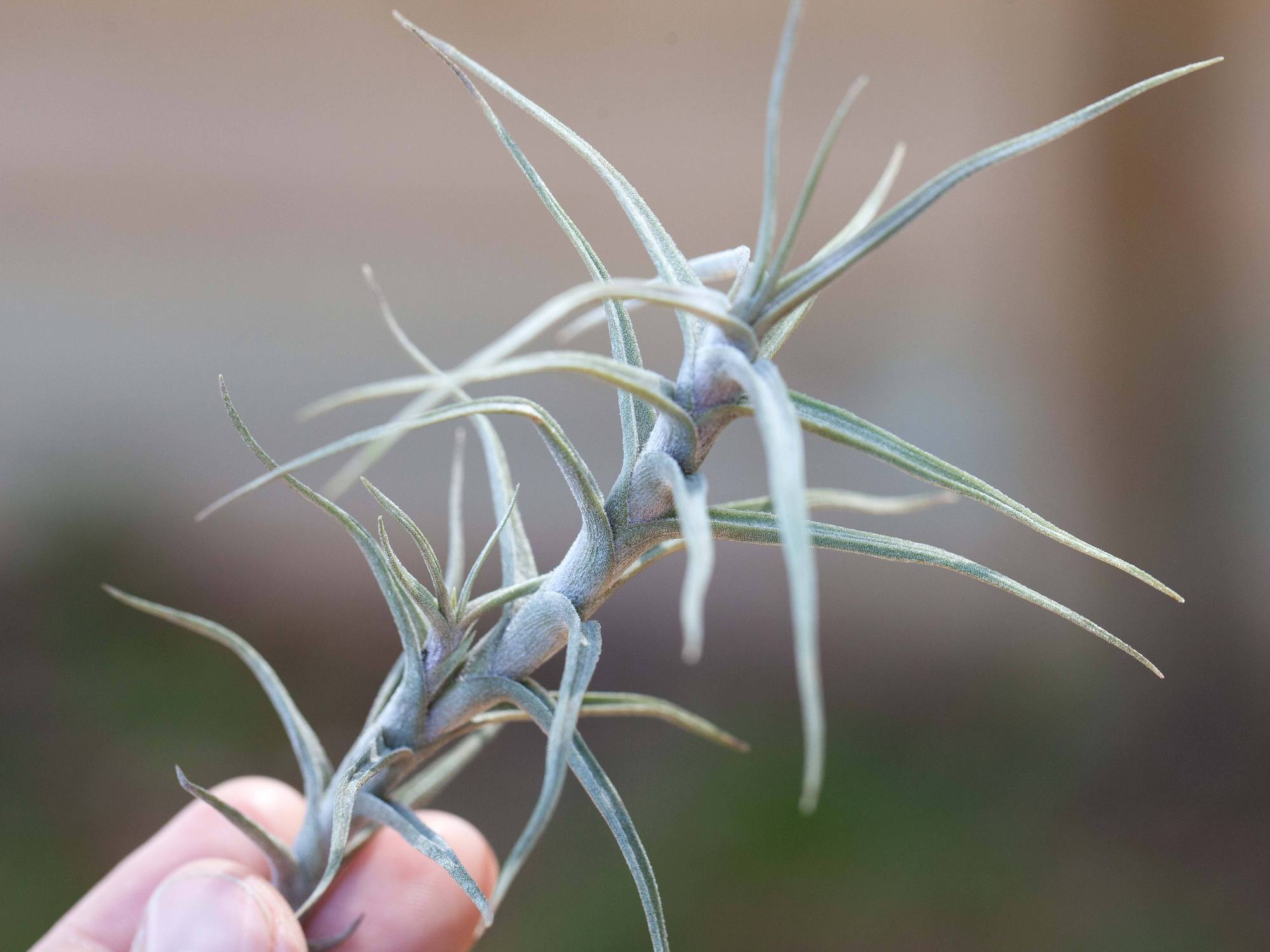 Drought-Tolerant Tillandsia: The Best Air Plants For Drier Climates