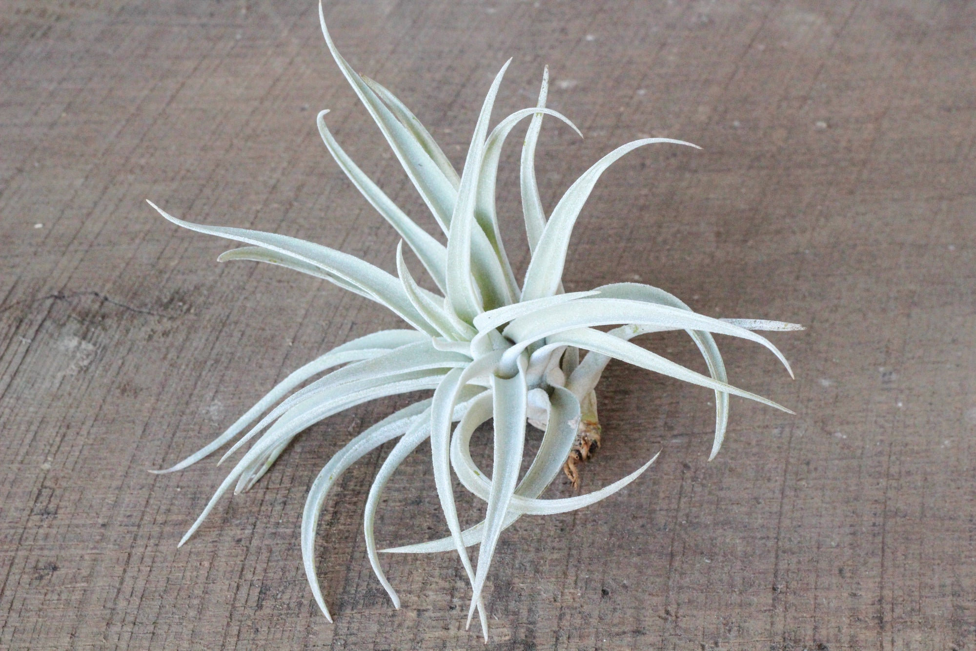 tillandsia Harrisii air plant