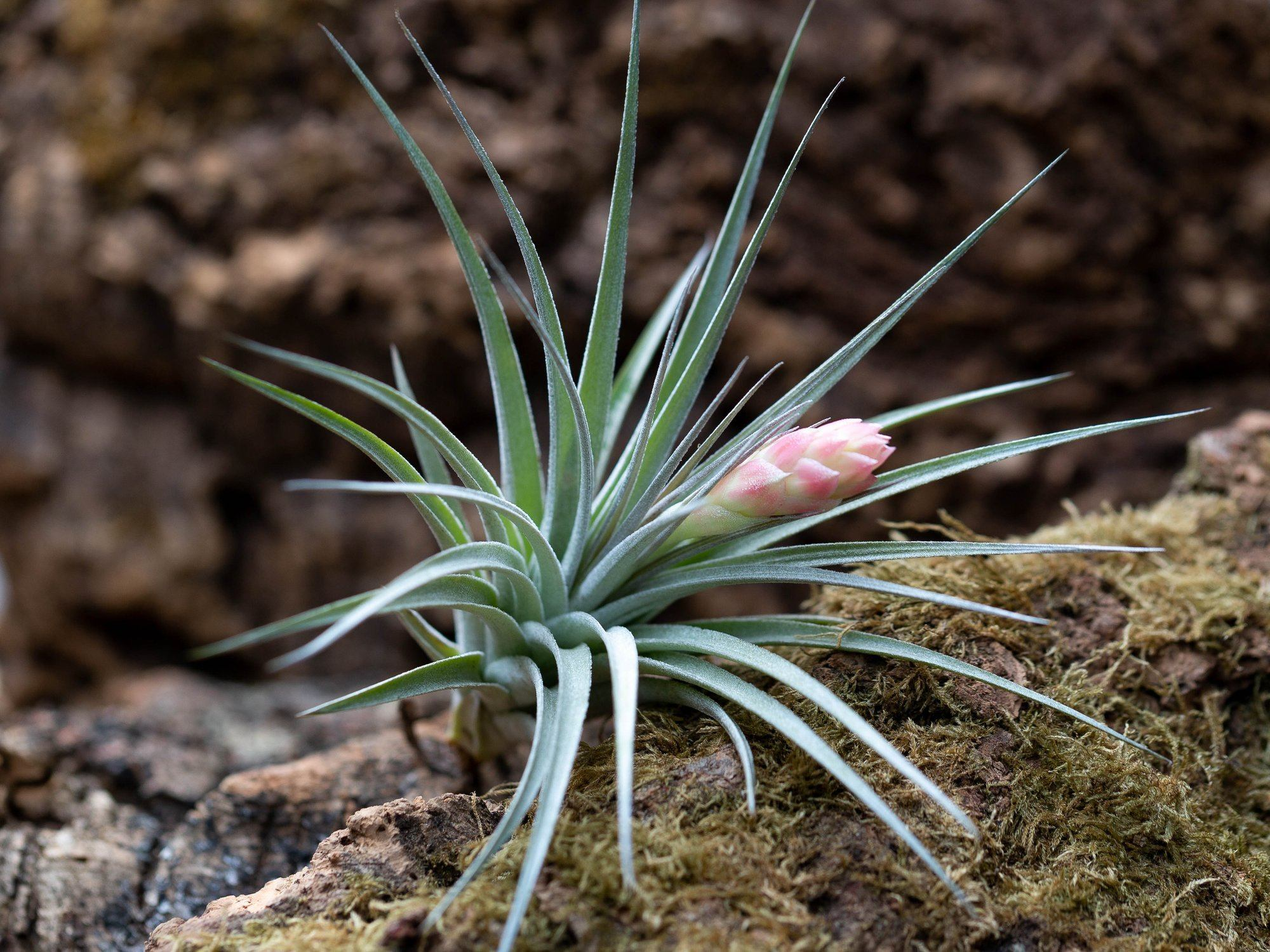 5 Facts About Tillandsia Hybrids