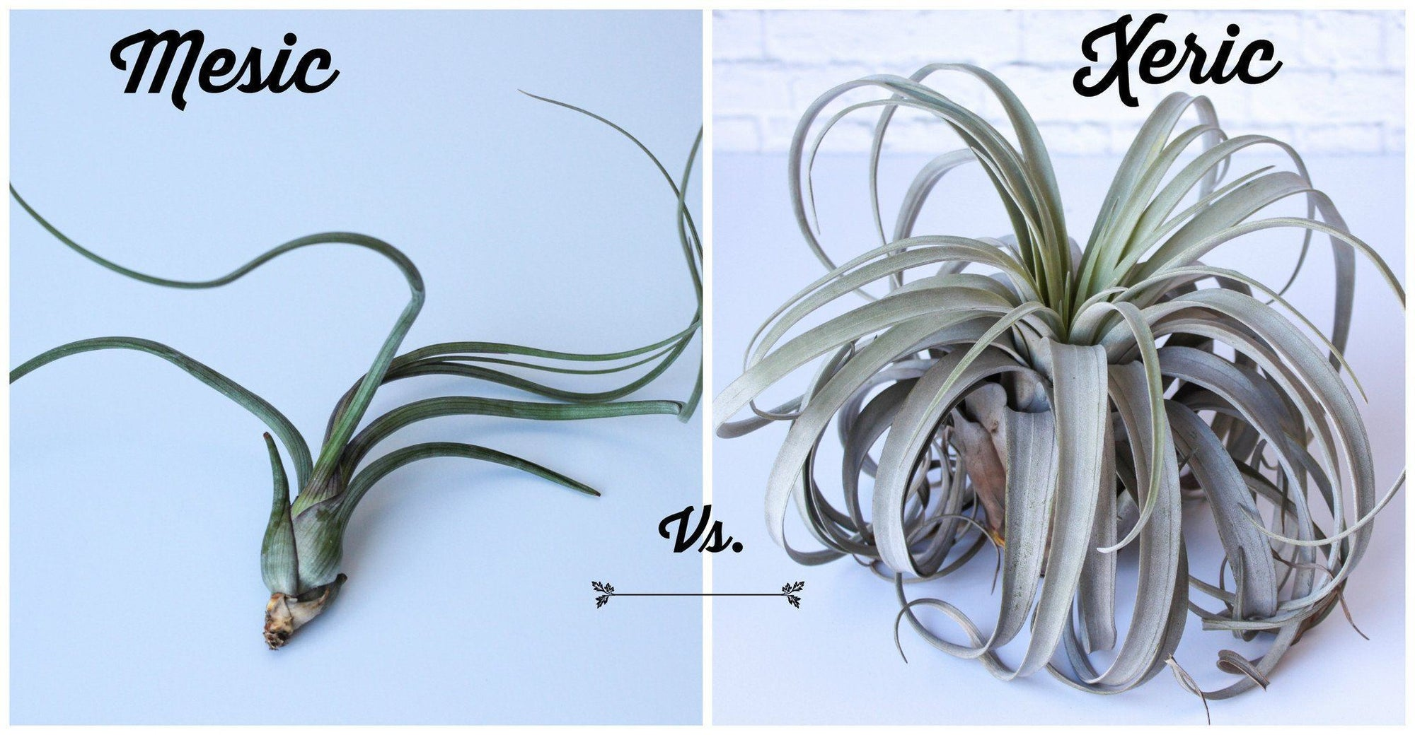 Mesic Air Plants Vs Xeric Air Plants
