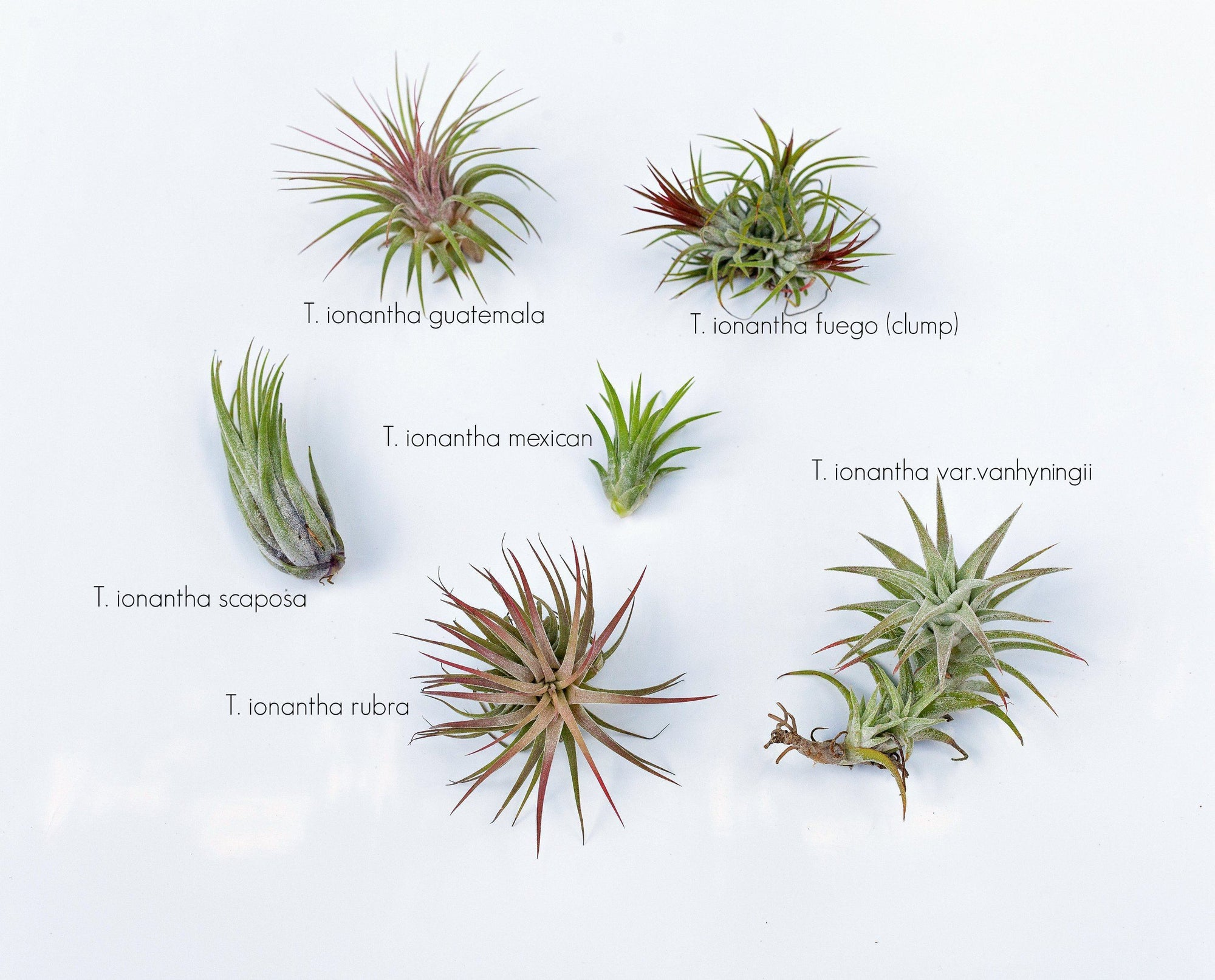 Common Tillandsia Ionantha Forms
