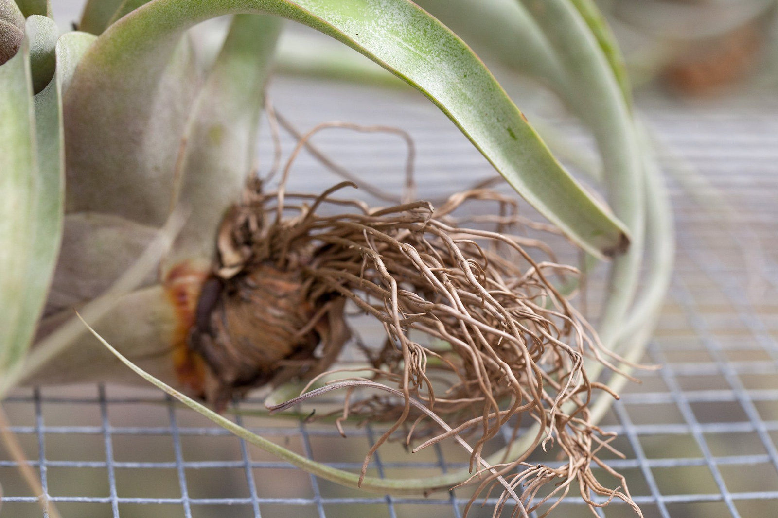 All About Air Plant Roots And Why They Don T Need Soil Air