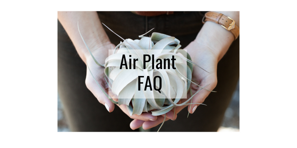Tillandsia air plant frequently asked questions