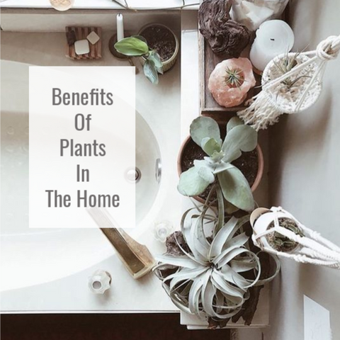 Benefits of Tillandsia air plants in the home