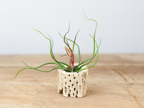 Tillandsia bulbosa air plant in cholla wood