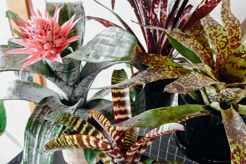 Various Bromeliad species