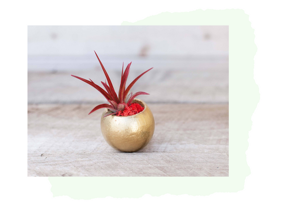 Tillandsia air plant gold holder
