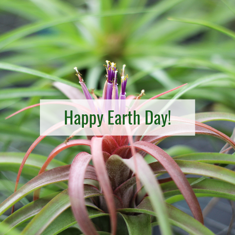 Tillandsia brachycaulos air plant earth day