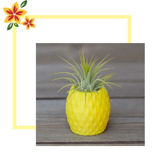 Tillandsia air plant pineapple holder