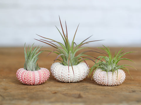 Tillandsia scaposa in pink sea urchins