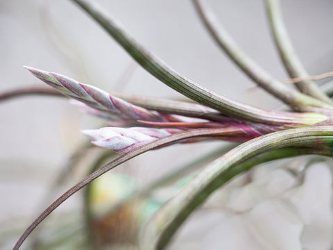 tillandsia pseudobaileyi air plant in bloom