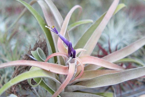tillandsia capitata air plant in bloom